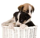 Cachorrinhos numa cesta de vime — Foto Stock