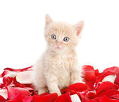 Kitty with pink rose petals. isolated on white background — Stock Photo