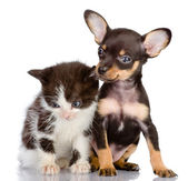 Gatinho e toy terrier. — Foto Stock