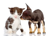 Toy Terrier and kitten. — Stock Photo