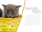 Little british cat in basket. isolated on white background with sample text — Stock Photo