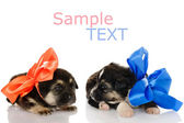 Puppy love. Two puppies dogs. isolated on white background — Stock Photo