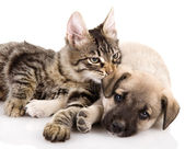 Kitten and a pup together. isolated on white background — Stock Photo