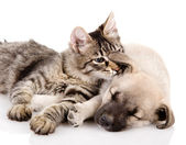 Kitten and a pup together. isolated on white background — Stock fotografie