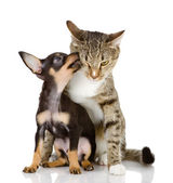 Toy Terrier and cat. — Stock Photo