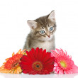 Foto Stock: Kitten and flower looking at camera