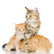 The cat preserves the kittens — Stock Photo