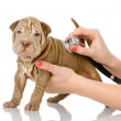 Veterinarian hand examining a sharpei puppy dog - Stock Photo