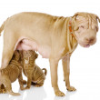 The adult dog feeds the puppies — Stock Photo