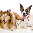 Two adult dogs and tiny kitten. isolated on white background — Stock Photo #18034753