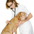 Young vet checking the heart rate of a adult sharpei dog — Stock Photo