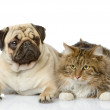 The cat lies near a dog. looking at camera. isolated on white background — Stock Photo