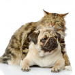 图库照片: Cat hugs dog. isolated on white background