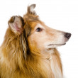 Stock Photo: Head rough collie - Scottish shepherd (lassie). sable color.