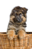Puppy in basket — Stock Photo