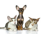 Puppy and two cats together. isolated on white background — Stock Photo