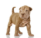 Sharpei puppy hondje camera kijken — Stockfoto