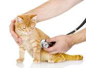Veterinarian hand examining a cat — Stock Photo