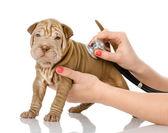 Veterinarian hand examining a sharpei puppy dog — Stock Photo