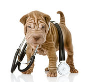 Shrpei puppy dog with a stethoscope on his neck — Stock Photo