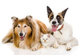 Two adult dogs and tiny kitten. isolated on white background — Stock Photo