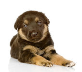 The black puppy lies. looking at camera — Stock Photo