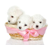 Three puppies in a basket — Stock Photo