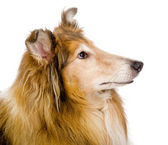 Head rough collie - Scottish shepherd (lassie). sable color. — Stock Photo