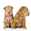 Two shar pei puppies looking at camera. isolated on white background — Stock Photo