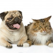The cat lies near a dog. isolated on white background — Stock Photo
