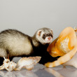 Stock Photo: Ferret on gray background