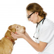 Veterinarian with puppy sharpei dog. — Stock Photo