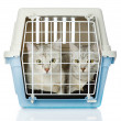 Kittens in transport box. isolated on white background - Foto Stock