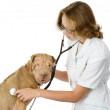 Veterinarian with puppy sharpei dog. — 图库照片