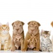 Group of cats and dogs in front. looking at camera. isolated on white background — Stock Photo #19220459