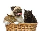 Dog and two cats in basket. isolated on white background — Stock Photo