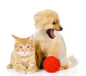 Orange cat and dog. cat looking at camera. isolated on white background — Stock Photo