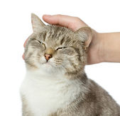 Hand of person stroking head of cute cat. isolated on white background — Stock Photo