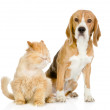 Beagle and persian cat. looking at camera. isolated on white background - Stock Photo