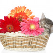 The small kitten sleeps in a basket with flowers. isolated on white background - Stock Photo