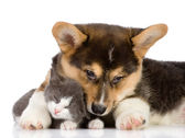 Pembroke Welsh Corgi puppy and kitten together. isolated on white background — Stock Photo