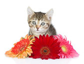 Kitten and flower. looking at camera. isolated on white background — Stock Photo