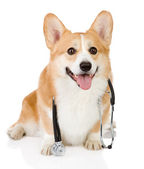 Puppy dog with a stethoscope on his neck. isolated on white background — Stock Photo