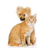 Dog and cat look in the camera. isolated on white background — Stock Photo