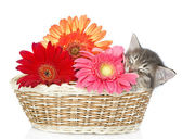 The small kitten sleeps in a basket with flowers. isolated on white background — Foto de Stock