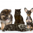 Group of cats and dogs in front. looking at camera. isolated on white background — Stock Photo