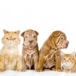 Group of cats and dogs in front. looking at camera. isolated on white background - Stock Photo