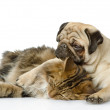 The dog together with cat. isolated on white background — Stock Photo