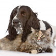English Cocker Spaniel dog and cat together. — ストック写真