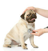 Veterinarian hand examining a puppy dog. isolated on white background — Stock Photo